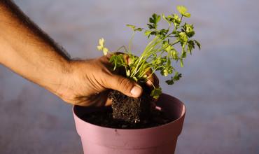 Καλλιέργεια μαϊντανού σε γλάστρα