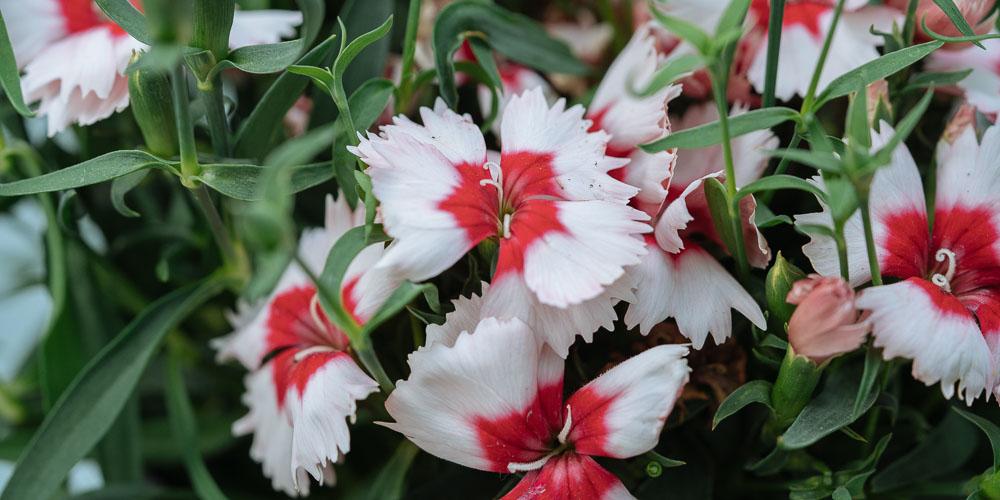 Κινέζικο γαρύφαλλο με σχιστά άνθη