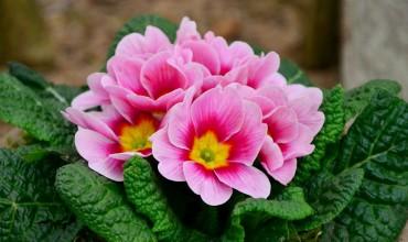 Πρίμουλα, πρώτο λουλούδι του χειμώνα