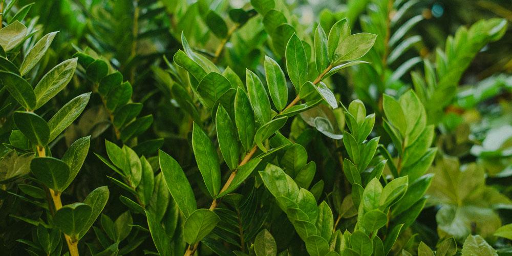 Ζαμιοκούλκας, ανθεκτικό φυτό εσωτερικού χώρου