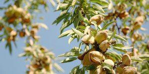 6 μυστικά για την καλλιέργεια της αμυγδαλιάς