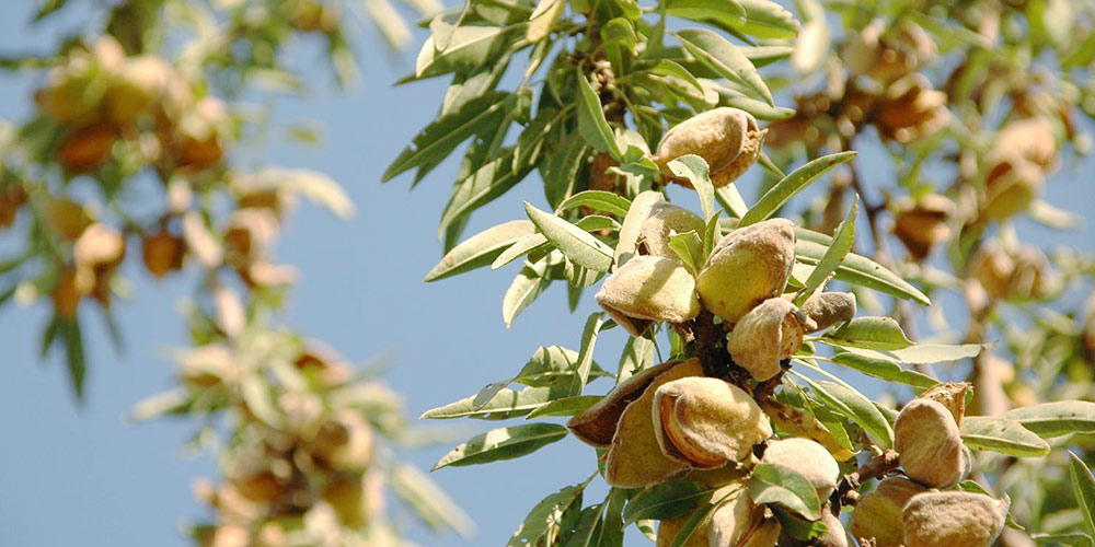 6 μυστικά για καλλιέργεια αμυγδαλιάς