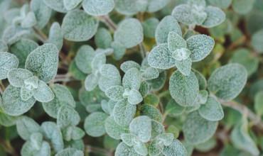 Δίκταμος, το αρωματικό κρητικό βότανο