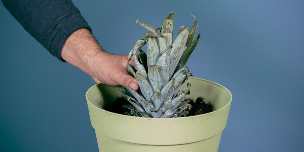 Καλλιέργεια ανανά σε γλάστρα