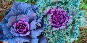 Καλλωπιστικό λάχανο με υπέροχα χρώματα