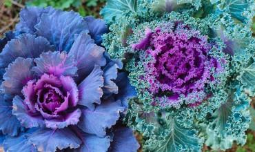Καλλωπιστικό λάχανο