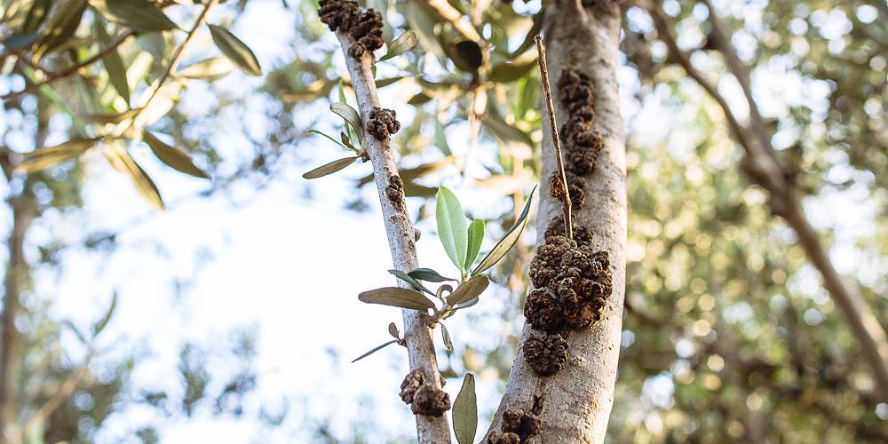 mistikakipou-michaliskoulieris-karkinosielias