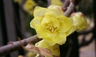 Χειμωνανθός το λουλούδι του χειμώνα