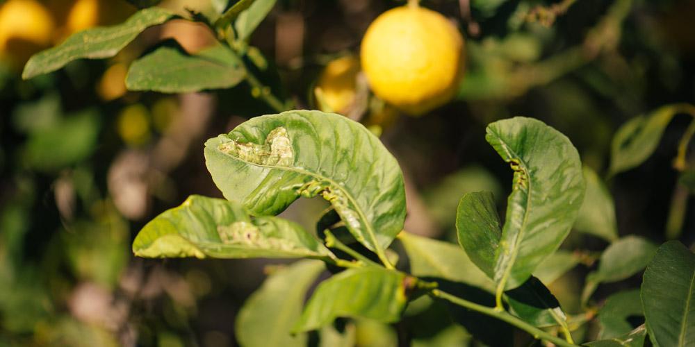 Αντιμετώπιση του φυλλοκνίστη στη λεμονιά