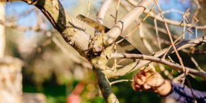 Πότε και πώς γίνεται το κλάδεμα της αχλαδιάς
