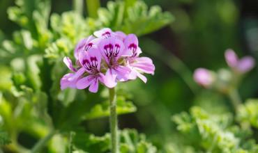 Αρμπαρόριζα, ένα αρωματικό φύτο με όμορφα λουλούδια