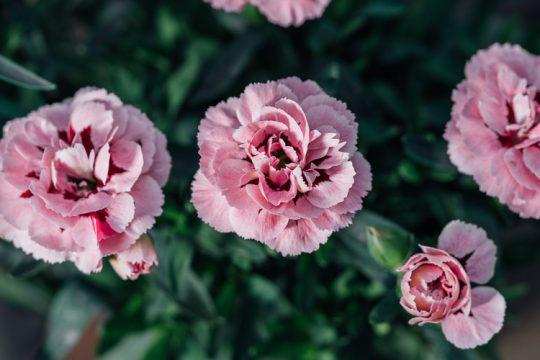 5 μυστικά για τη φροντίδα της γαρυφαλλιάς   Τα Μυστικά του Κήπου