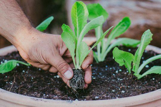 Συμβουλές για την καλλιέργεια μαρουλιού σε γλάστρα