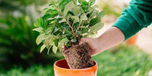 5 μυστικά για μεταφύτευση φυτών σε γλάστρα
