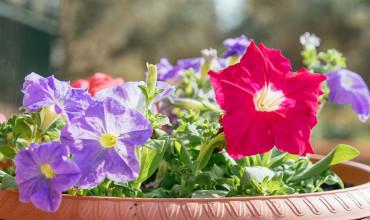 Φυτεύουμε πετούνιες για χρώμα στον κήπο