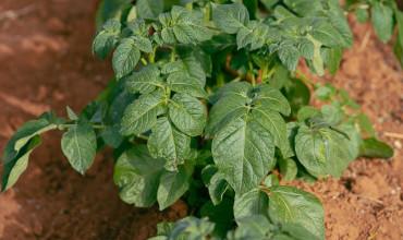 Καταπολέμηση περονόσπορου πατάτας