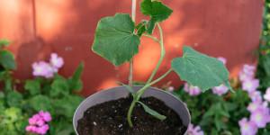 Αγγούρι: φύτευση και καλλιέργεια σε γλάστρα