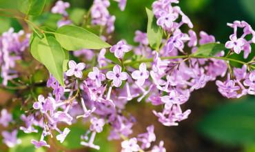 Πασχαλιά, ένα φυτό που ανθίζει τις μέρες του Πάσχα