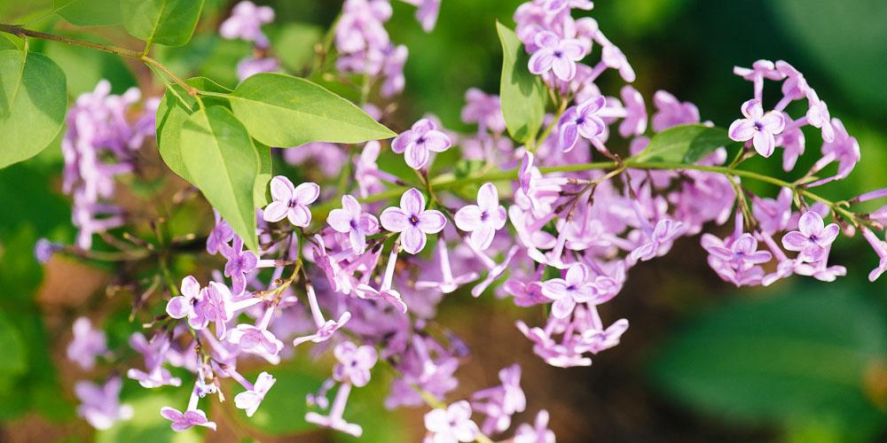 Πασχαλιά, λουλούδι για το Πάσχα