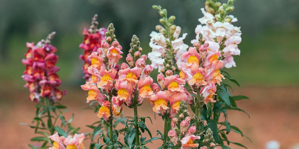 Σκυλάκια, πολύχρωμα λουλούδια στον κήπο