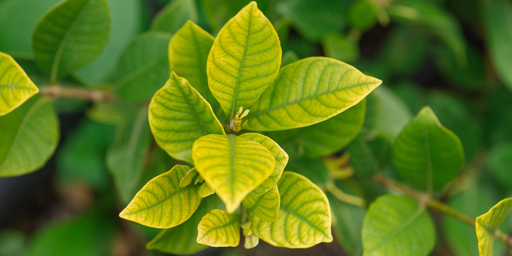 Αντιμετώπιση της έλλειψης σιδήρου στα φυτά