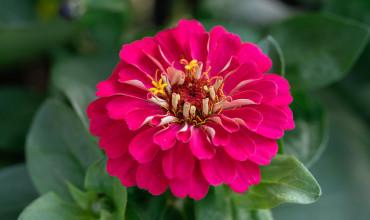 Ζίνια, λουλούδι σε πολλά χρώματα