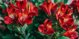 Αλστρομέρια, το κρίνο των Ίνκας