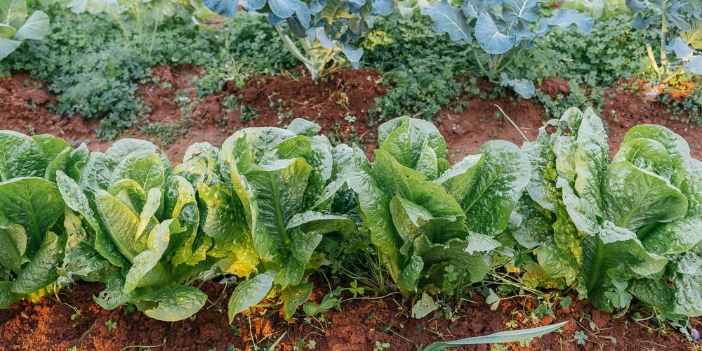 Αποστάσεις φύτευσης για την καλλιέργεια λαχανικών