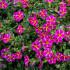 Καλιμπραχόη, λουλούδι για κρεμαστά καλάθια
