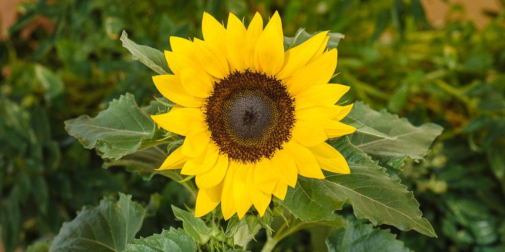 Ηλίανθος, το λουλούδι του ήλιου