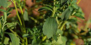 Καλλιέργεια στέβια