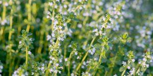 Πότε είναι η κατάλληλη εποχή για συλλογή των αρωματικών φυτών;