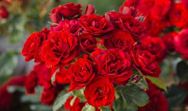 Ανακαλύψτε τις βασικές ποικιλίες τριανταφυλλιάς