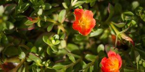 Πορτουλάκα κρεμαστή, η καλλωπιστική γλυστρίδα