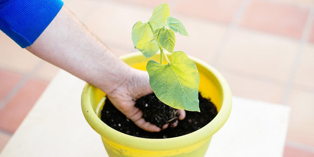 Φυτεύουμε φασολιές στο μπαλκόνι