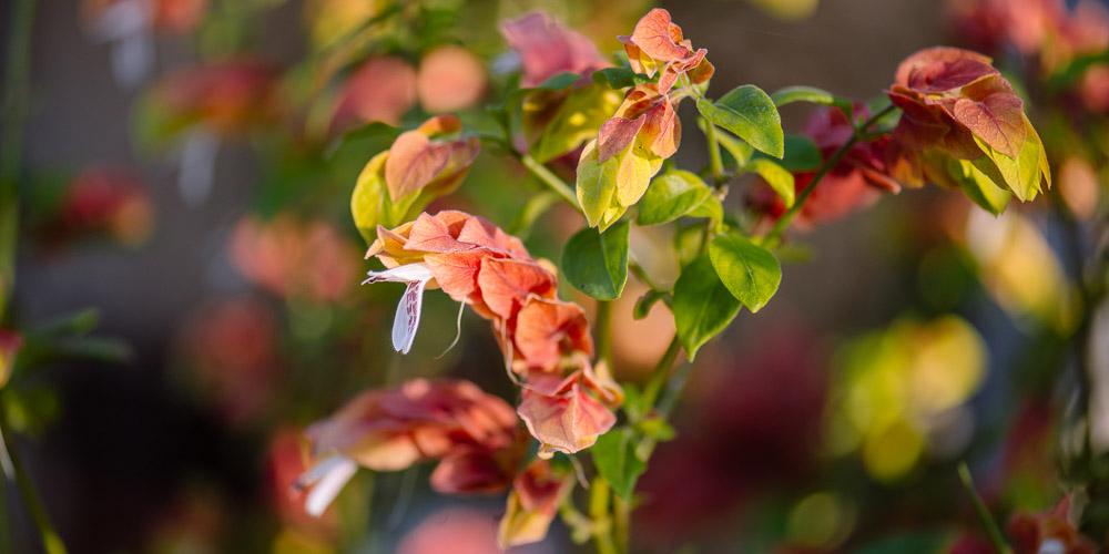 Γαριδάκι, τροπικό φυτό με εντυπωσιακά φύλλα