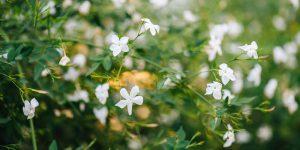 6 μυστικά για τη φροντίδα του γιασεμιού