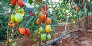 Υποστήλωση σε καλλιέργεια ντομάτας