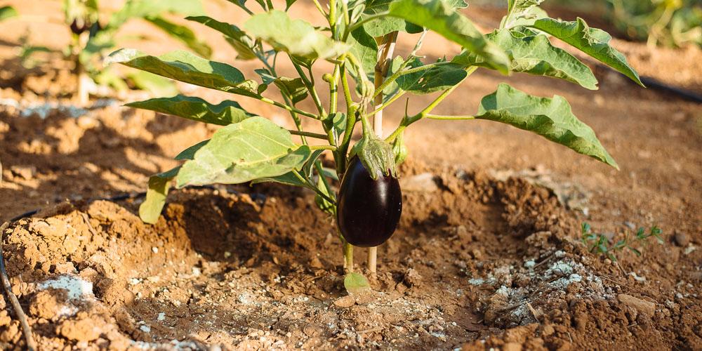 Επτά μυστικά για καλλιέργεια μελιτζάνας