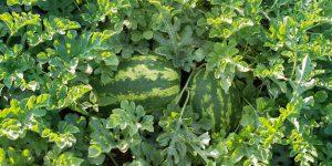 8 μυστικά για καλλιέργεια καρπουζιού