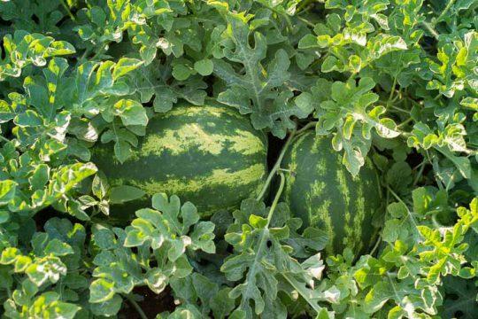 9 μυστικά για καλλιέργεια καρπουζιού