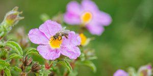 Ο ρόλος της μέλισσας στην επικονίαση των φυτών