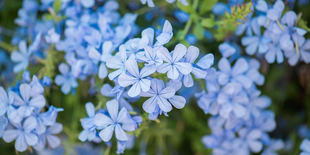 Πλουμπάγκο, το μπλε γιασεμί