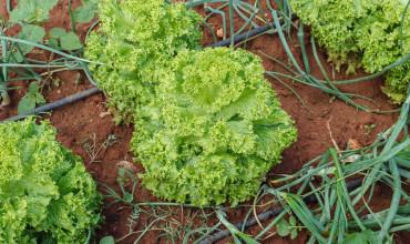 Συγκαλλιέργεια φυτών στον λαχανόκηπο