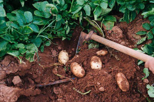 Συγκομιδή και αποθήκευση της πατάτας