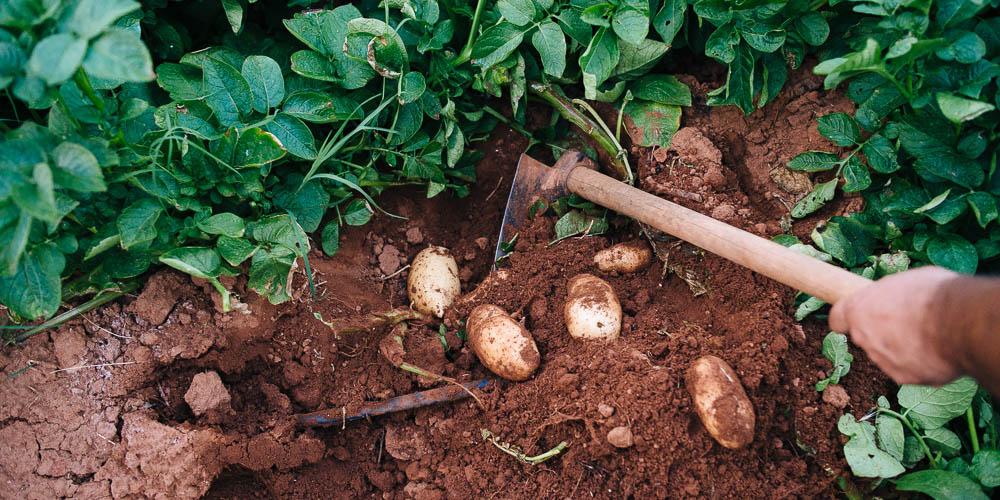 Συγκομίζουμε και αποθηκεύουμε τις πατάτες