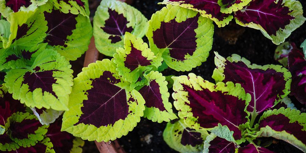 Ωραίο μου φύλλο, πολύχρωμο φυτό