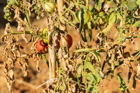Προστασία φυτών από ζέστη και καύσωνα