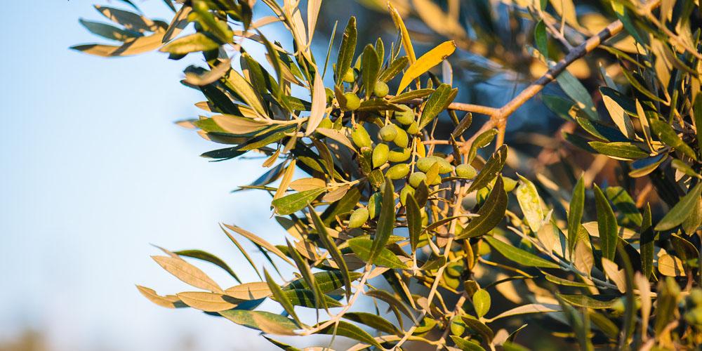 Αντιμετωπίστε οικολογικά τον δάκο της ελιάς