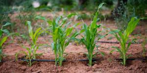 Νεαρά φυτά καλαμποκιού